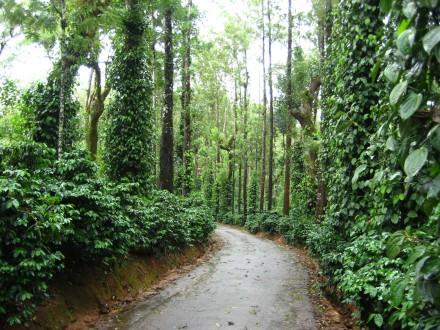 coorg plantation